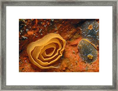 Nudibranches Eggs Framed Print by Sami Sarkis