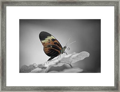 Numata Longwing Butterfly-nectar Framed Print