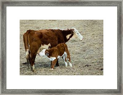 Nursing Calf Framed Print