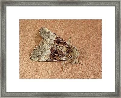 Nut-tree Tussock Moth Framed Print by Nigel Downer