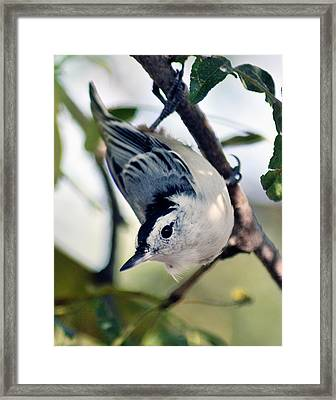 Nuthatch 623 Framed Print