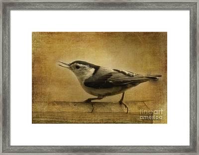 Nuthatch Framed Print by Amanda Collins
