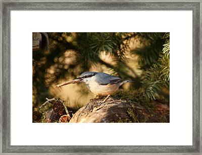 Nuthatch Collecting Nesting Material Framed Print by Izzy Standbridge