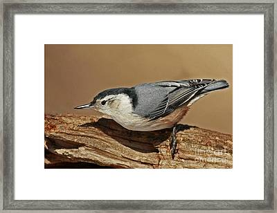 Nuthatch Gathering Insects From A Tree In The Forest Framed Print by Inspired Nature Photography Fine Art Photography