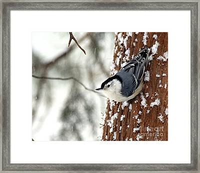Framed Print featuring the photograph Nuthatch In Snow Storm by Paula Guttilla