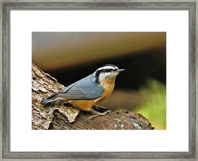 Framed Print featuring the photograph Nuthatch Pose by VLee Watson
