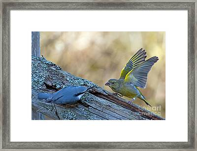 Nuthatch Vs Greenfinch Framed Print by Torbjorn Swenelius