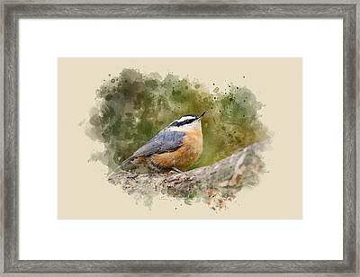 Nuthatch Watercolor Art Framed Print