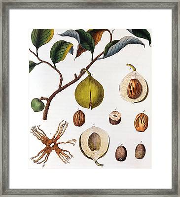 Nutmeg Myrsitica Fragrans Framed Print by Anonymous