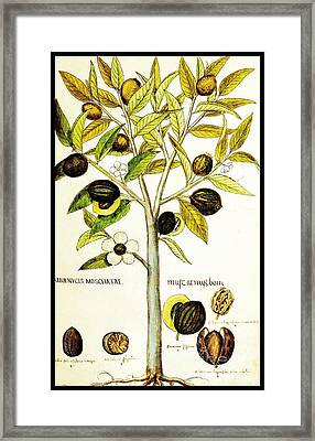 Nutmeg Plant Botanical Framed Print by Rose Santuci-Sofranko