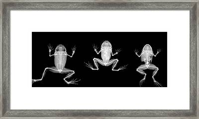 Nyctibatrachus Major Frogs Framed Print by Natural History Museum, London