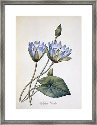 Nymphaea Caerula, 19th Century Framed Print by Science Photo Library