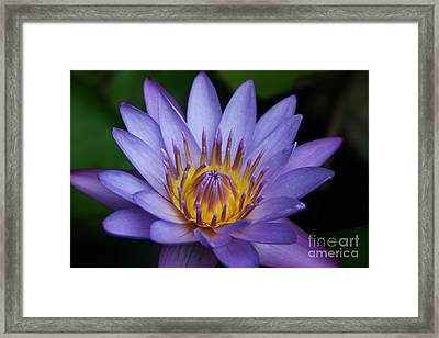 Nymphaea Caerulea  - Blue Egyptian Water Lily - Sacred Blue Water Lily - Nympheas Framed Print