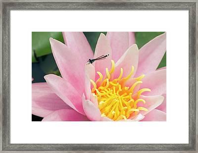 Nymphaea 'pink Sensation' Framed Print by Adrian Thomas