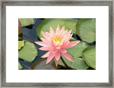 Nymphaea 'sunny Pink' Framed Print by Adrian Thomas