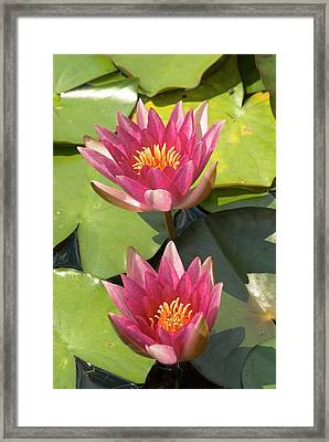 Nymphaea 'weymouth Red' Framed Print by Adrian Thomas