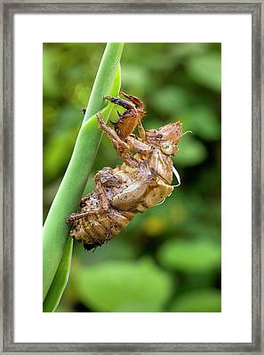 Nymphal Case Of The Green Grocer Cicada Framed Print by Dr Jeremy Burgess