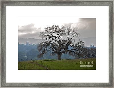 Oak In Fog Framed Print