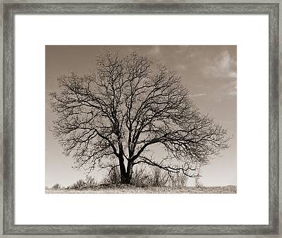 Oak In Sepia Framed Print by Lula Adams