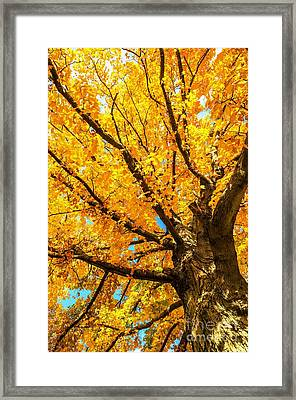 Framed Print featuring the photograph Oak In The Fall by Mike Ste Marie