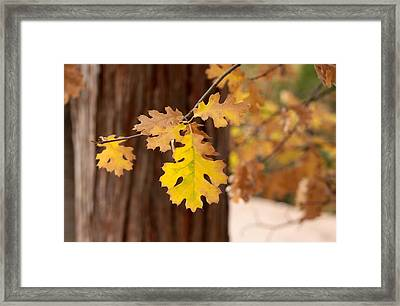 Oak Leaf Framed Print by Denice Breaux