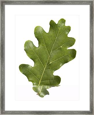 Oak (quercus Robur) Leaf Framed Print by Science Photo Library