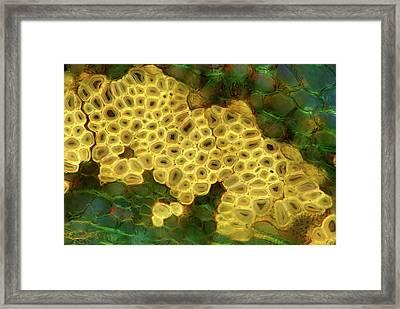 Oak Stem Framed Print