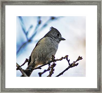 Framed Print featuring the photograph Oak Titmouse by Gary Brandes