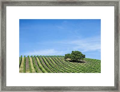 Oak Tree Amid The Grapevines  Framed Print