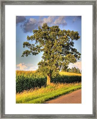 Oak Tree By The Roadside Framed Print