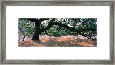 Oak Tree On A Field, Sonoma County Framed Print