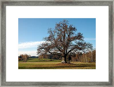 Oak Tree With Benches Framed Print