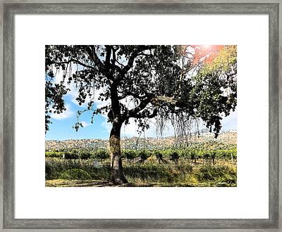 Oak Tree Yountville 22 Framed Print by Cadence Spalding