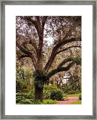 Oak Tree Framed Print