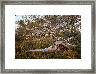 Oak Trees In The Marsh Framed Print by Debra and Dave Vanderlaan
