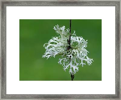 Oakmoss Lichen (evernia Prunastri) Framed Print by Nigel Downer