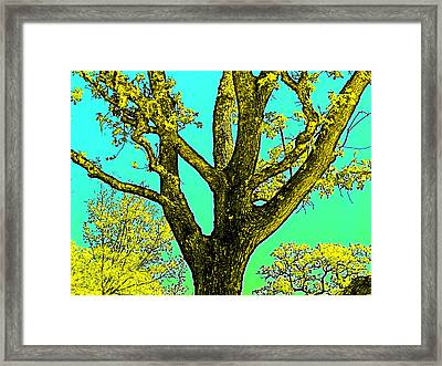 Oaks 3 Framed Print by Pamela Cooper