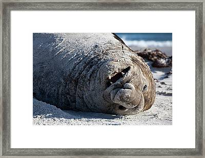 Obesity In Animals A Happy Elephant Seal Framed Print by Paul D Stewart