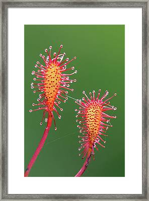 Oblong-leaved Sundew Leaves Framed Print