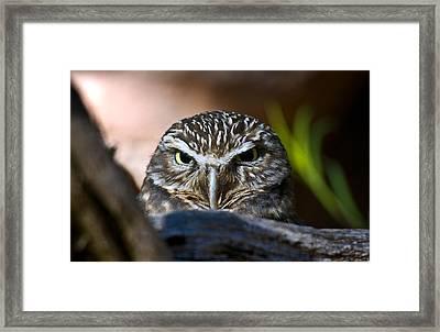 Observant Owl Framed Print by Dave Dilli