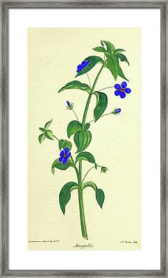 Observations On The Neilgherries, Anagallis Framed Print by Litz Collection