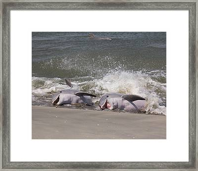 Observing Calf Framed Print