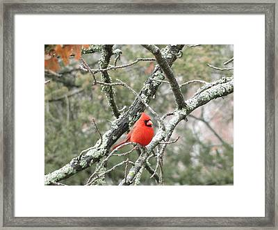 Observing Cardinal Framed Print by Cindy Croal
