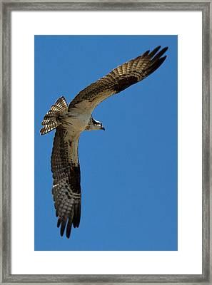 Obtuse Osprey Framed Print