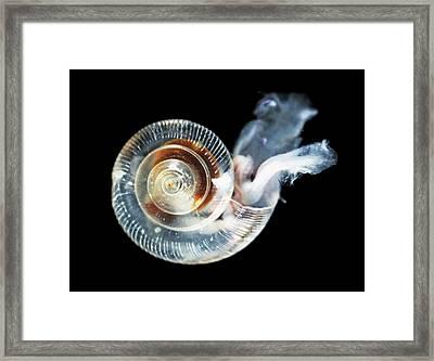 Ocean Acidity Dissolving Snail Shell Framed Print by Noaa