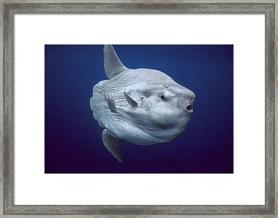 Ocean Sunfish Portugal Framed Print