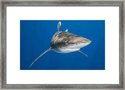 Oceanic Whitetip Shark Framed Print
