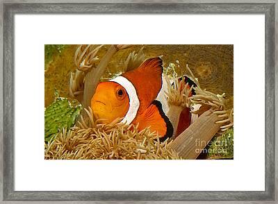 Ocellaris Clown Fish No 1 Framed Print by Jerry Fornarotto