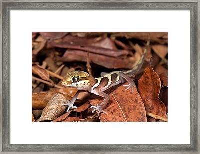 Ocelot Gecko Framed Print by Alex Hyde