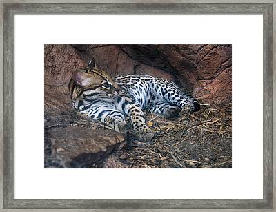 Ocelot In Den Framed Print by Chris Flees